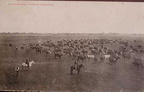 Vintage picture postcard - cattle ranching - 1909